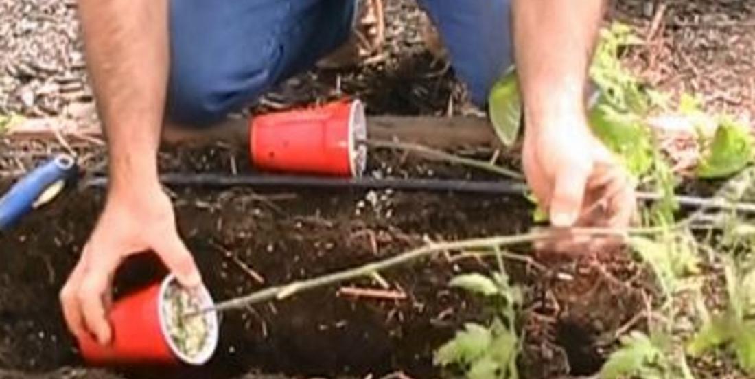 Planter des tomates de côté et ajouter du bicarbonate de soude, les jardiniers partagent leurs plus grands secrets!