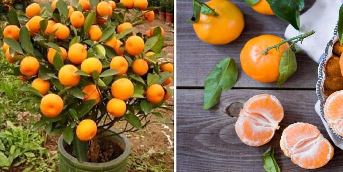 Cessez d'acheter des mandarines! Voici comment en cultiver facilement, à la maison!