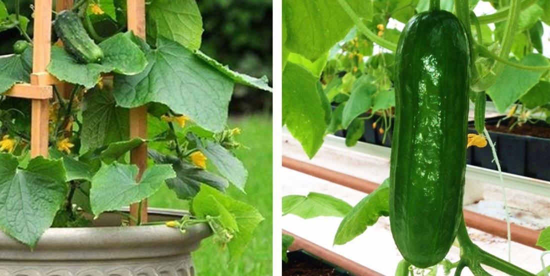 Les cultivez-vous de la bonne manière? Voici comment faire pousser les concombres à la verticale!