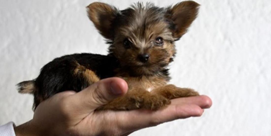 5 chiens qui restent tout petits toute la vie