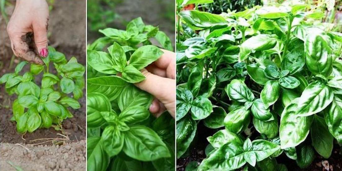 Comment cultiver un plan de basilic géant: un secret de jardinier professionnel