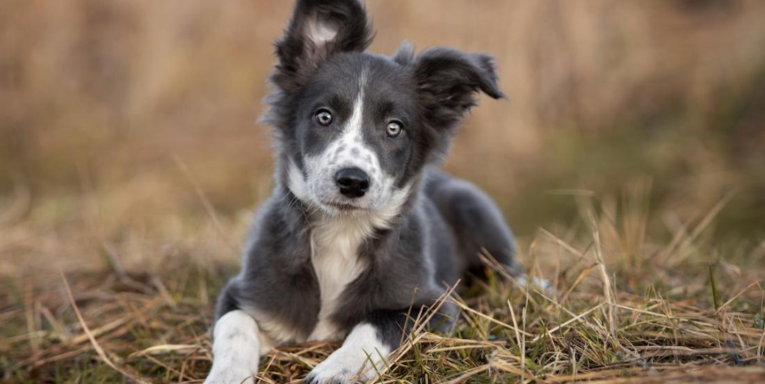 La liste des chiens les plus intelligents, selon un spécialiste canin