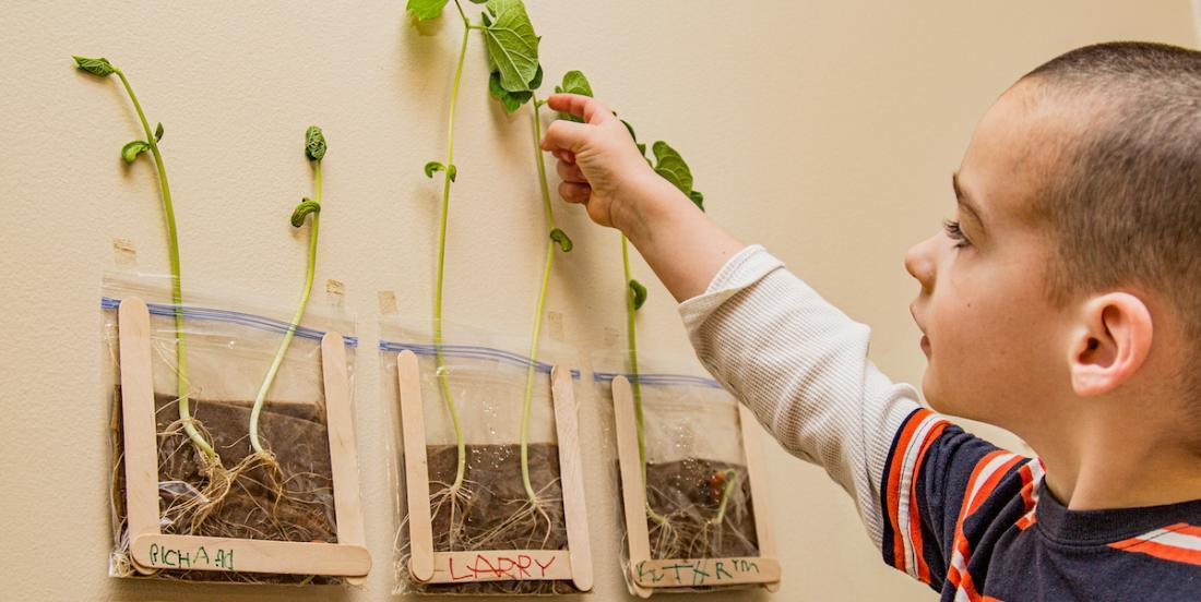 Une expérience à proposer à vos enfants: la germination de haricot dans un sac transparent