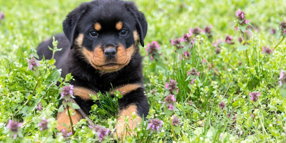 Le top 10 des chiens les plus intelligents, selon Cesar Millan