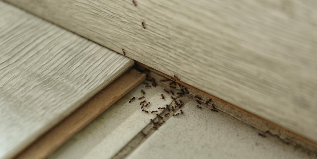 5 astuces pour éloigner naturellement les fourmis de votre maison