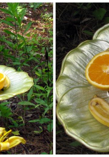 Elle place une assiette avec des morceaux de fruits dans sa cour: ce qui se produit ensuite est fantastique!