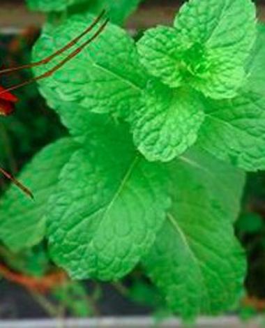 Dites adieu aux moustiques une fois pour toutes dans votre jardin! Voici 7 plantes qui protègeront votre famille!