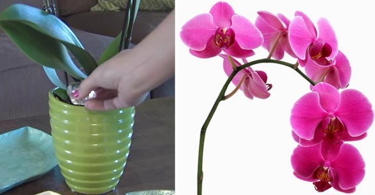 orchidee glacon