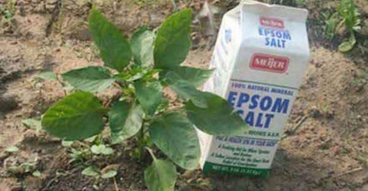 11 façons d'utiliser le sel d'Epsom à l'extérieur de la maison