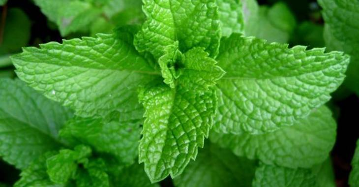 La menthe: une plante aromatique magique qu'on devrait tous avoir à la maison