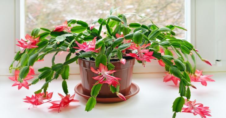 Tous les secrets pour faire pousser et refleurir votre Cactus de Noël