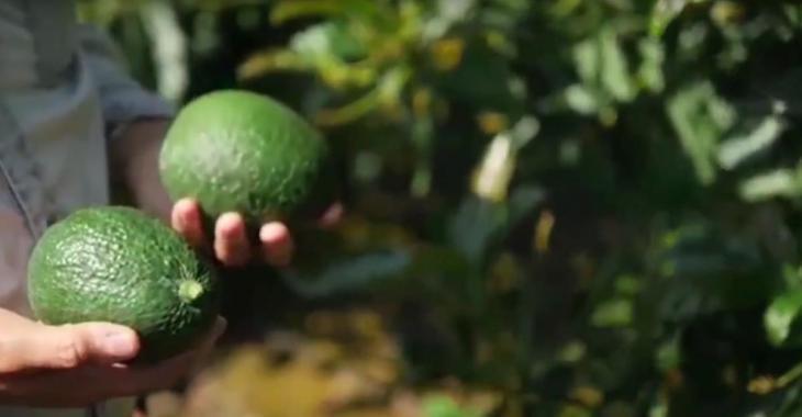 Une société mexicaine fabrique des ustensiles biodégradables avec des noyaux d'avocats