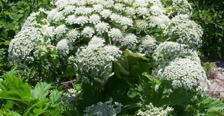 Les autorités mettent la population en garde contre cette plante envahissante et toxique