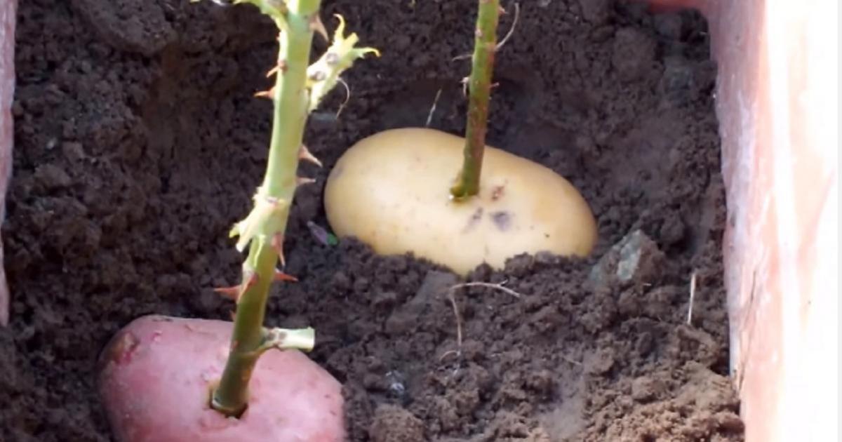 planter une tige de rose dans une patate